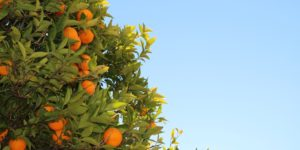 Core Value 22: Can a fig tree yield olives?